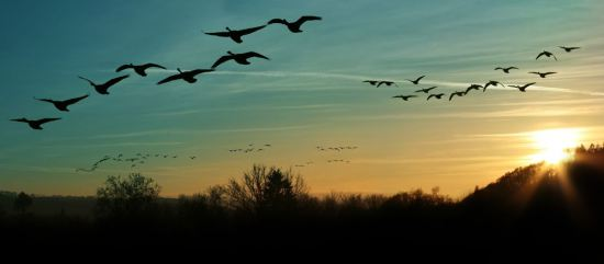 geese-photo-for-rna-home-page-123rf-16610705_m